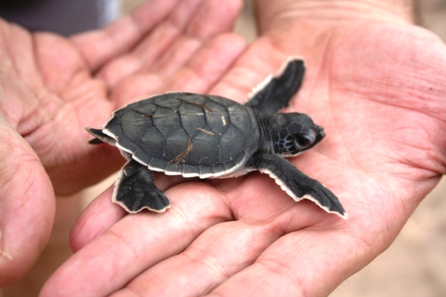 A stray sea turtle just after hatching.5