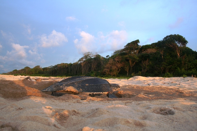 A giant leatherback hard at work digging a hole for her 90 eggs.