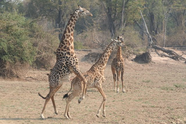 An amourous afternoon for the giraffes