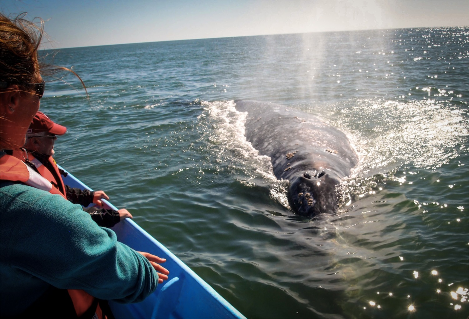 Getting up close to grey whales at Laguna Ojo de Liebre in Baja California.