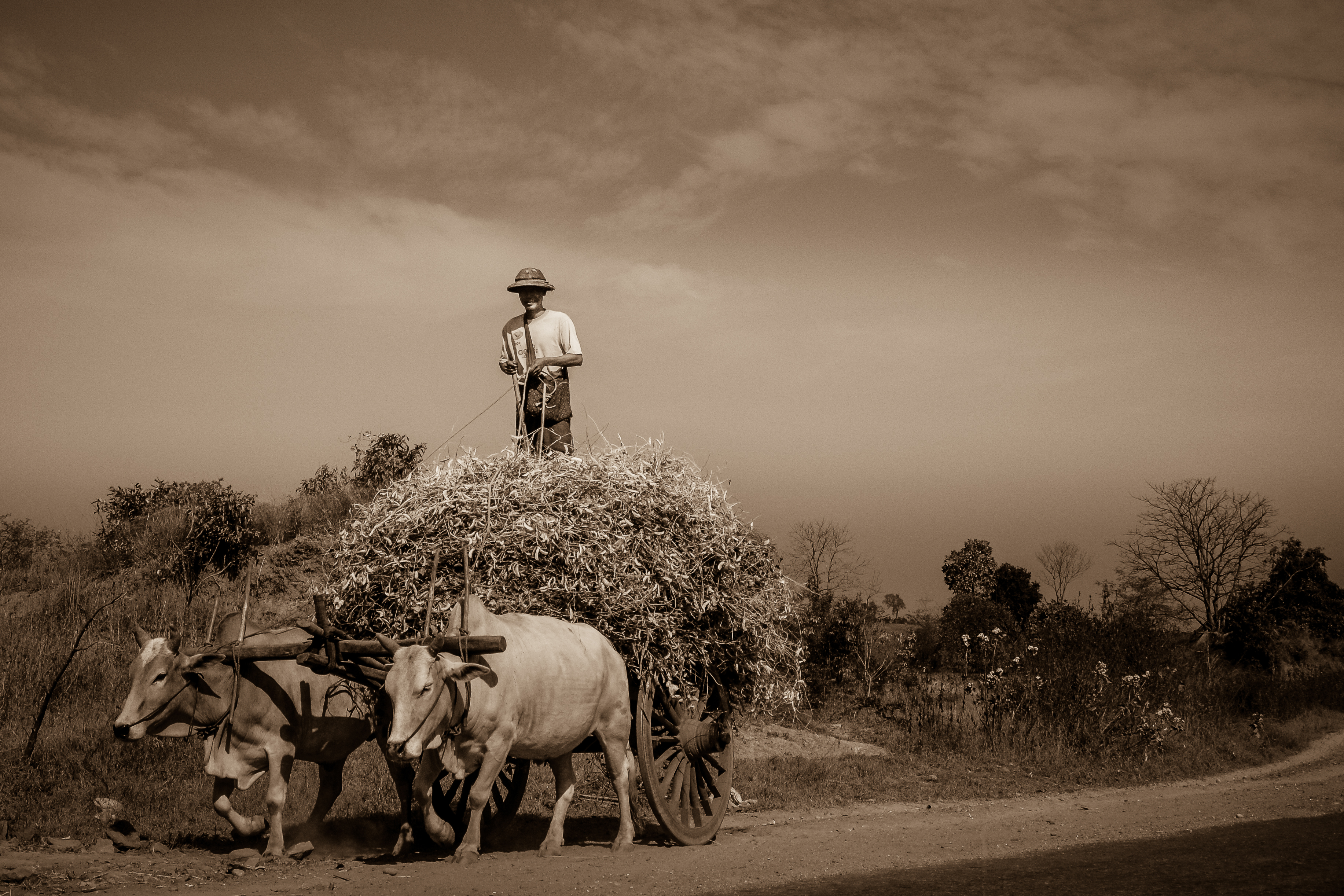 man with oxen cart in Myanmar